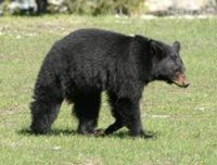 Black bear sightings are common throughout the summer